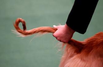 Хвост украинской собаки
