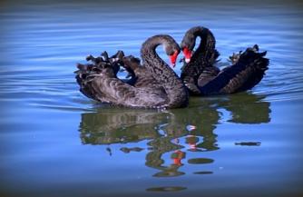 Два «черных лебедя» для России