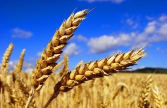 Хлеб станет золотым