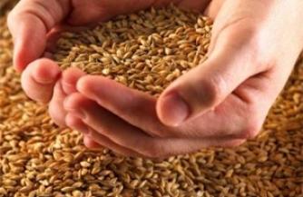 Цены на зерно растут